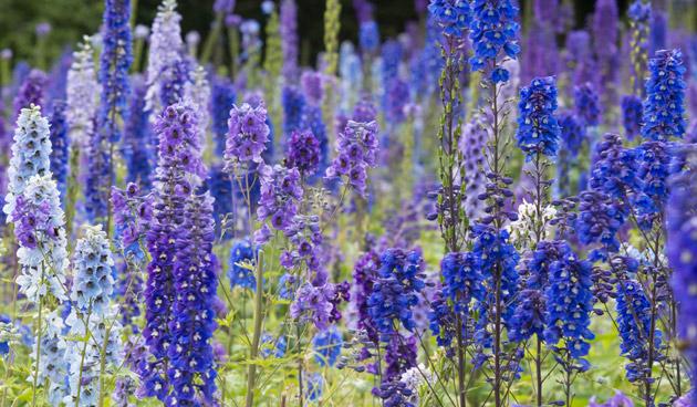 Ridderspoor: Blauwe bloemenpracht
