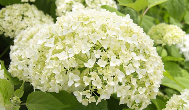 hortensia arborescens snoeien