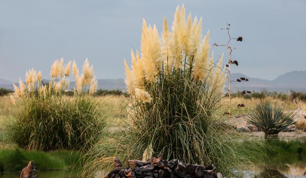 Pampasgras snoeien en verzorgen
