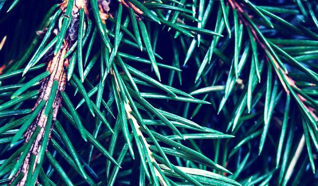 Kerstboom als deken voor vorstgevoelige planten