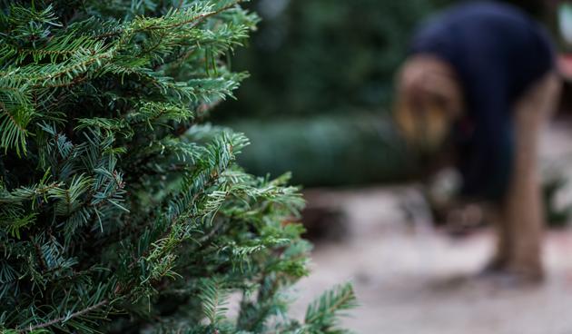 Kerstboom in je tuin planten