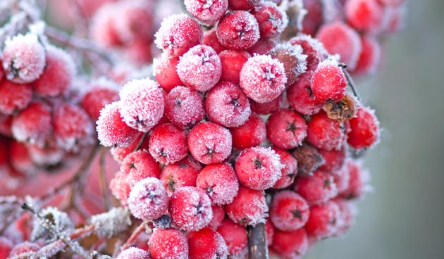 Feestelijke bessen in de winter