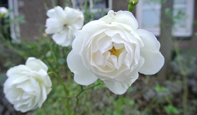 rozen aan struik laten zitten