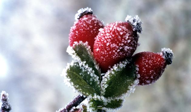 Vrolijke rozenbottels