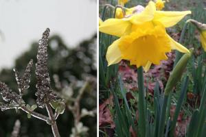 narcis in bloei en ijzel