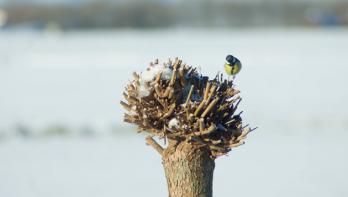 Roodkeelnachtegaal gespot tijdens tuinvogeltelling 2016