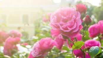Tips tegen rozenmoeheid