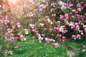magnolia op kleigrond