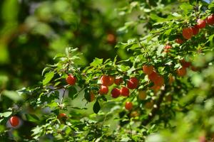 pruimenbomen snoeien