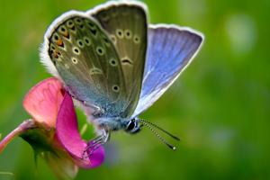 lathyrus vlinder