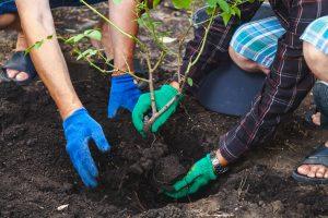 rozen snoeien: planten en verplanten