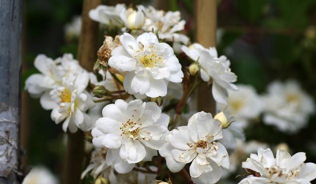 4 x witte rozen
