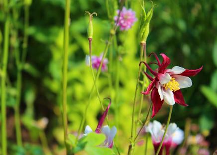 akeleien-planten-of-zaaien