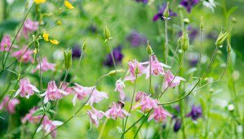 Akeleien bloeien in mei-juni