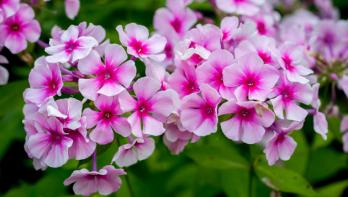 Snoeien in mei voor meer bloemen