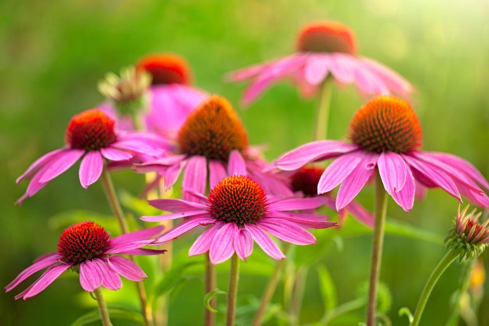 Echinacea purpurea, zonnehoed, bijenplanten, tuinseizoen