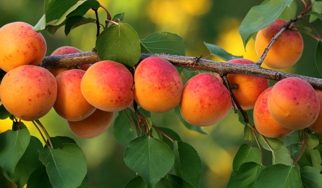 abrikozen leifruit