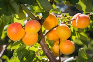 abrikozen onderhouden