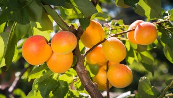 Abrikozen planten en onderhouden