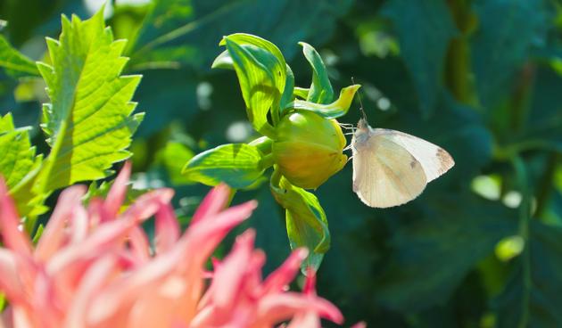 Dahlia: Topper van de zomertuin