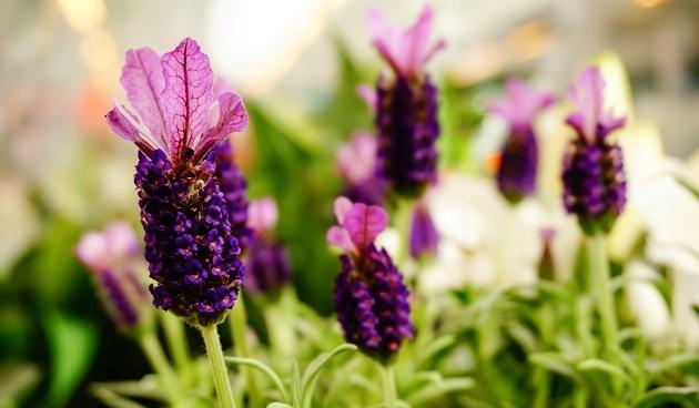 lavendel, planten stekken in juni
