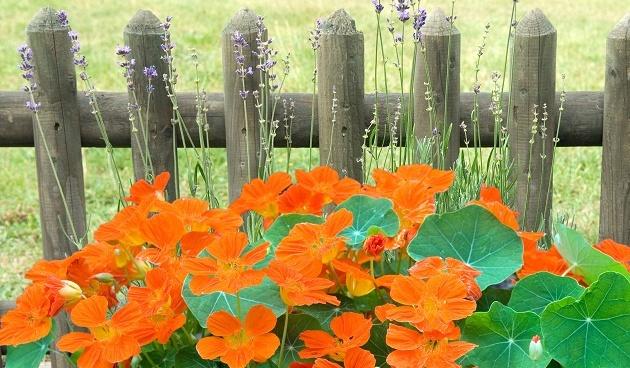 Oost-Indische kers in de tuin