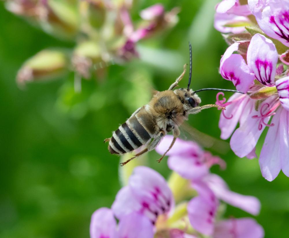 geranium - bijenplanten