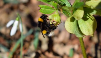 helleborus - bijenplanten in de winter