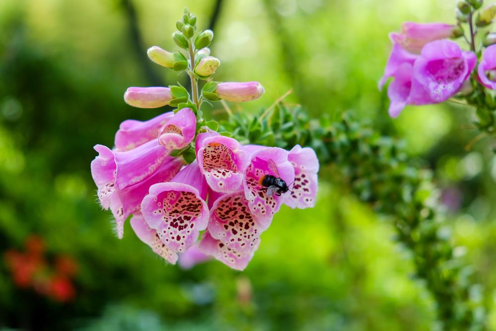 Vingerhoedskruid, bijenplanten, tuinseizoen