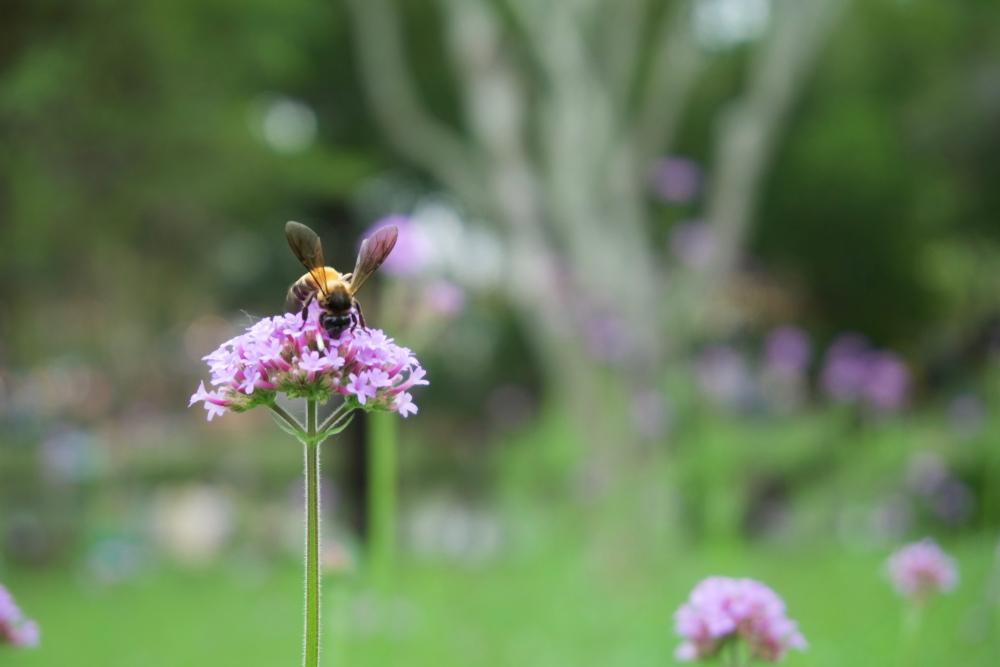 IJzerhard, mooie bijenplanten