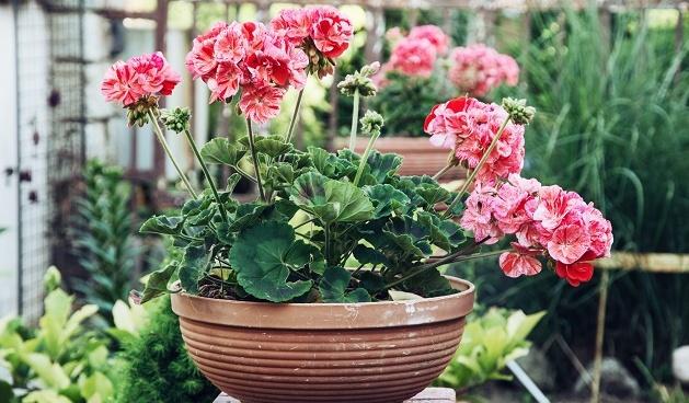 web pelargonium, planten stekken in juni