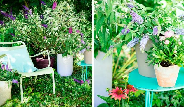 Vlinderstruik: Tuinplant van de Maand augustus