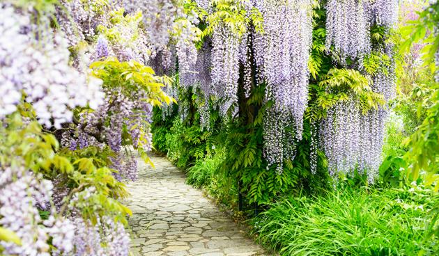 wisteria snoeien