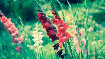 Tips voor gladiolen