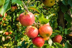 leibomen - appel