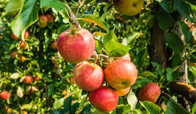 Fruit aan leibomen