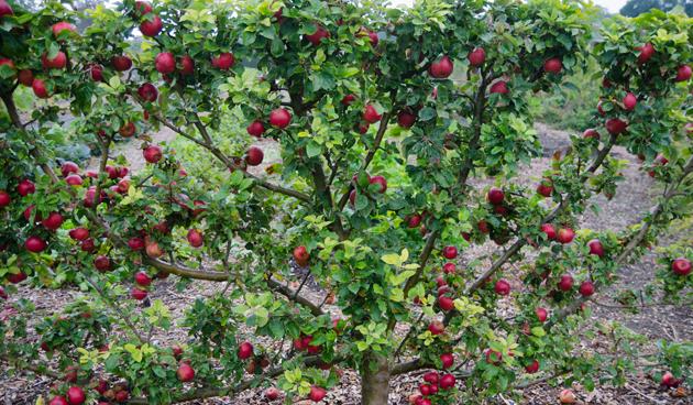 leibomen in de tuin