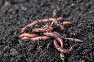 Zelf compost maken: wormen