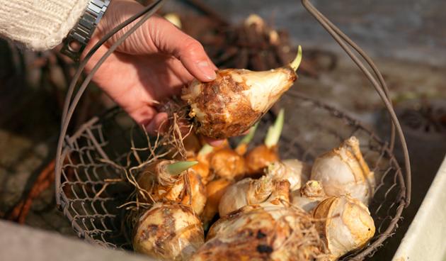 Bloembollen planten – de 9 meest gestelde vragen