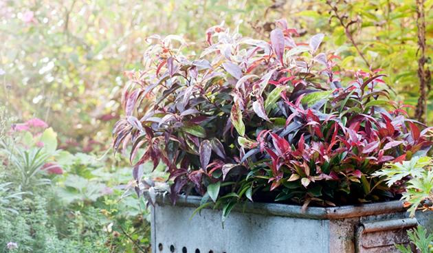 Leucothoe: bijzondere herfstkleur