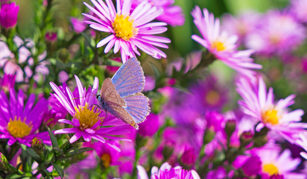 aster met iinsect