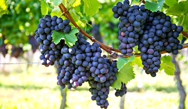 druif in eigen tuin