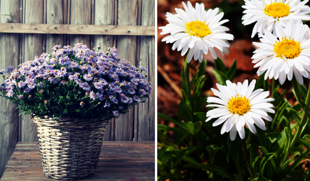 kleine asters in pot