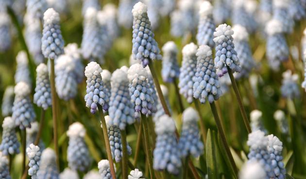 blauwdruifje bloembol