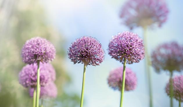 bloembollen klassieke tuin