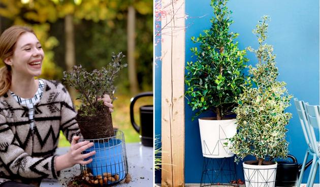 Hulst: tuinplant van de maand november