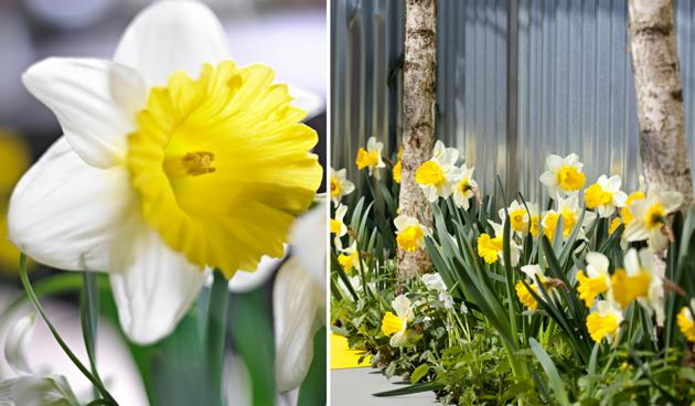 bloembollen in moderne tuin