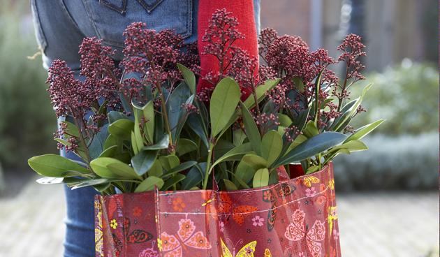 Herfstkleur op het terras met skimmia