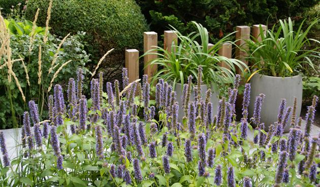 agastache voortuin, praktische voortuin, Antoon Gouw Tuinen, tuinontwerp