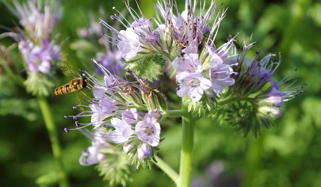phacelia moestuinklusjes-november, bijenplanten